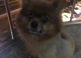 寻狗启示,芗城区万科城走丢  棕色狐狸狗,它是一只非常可爱的宠物狗狗,希望它早日回家,不要变成流浪狗。
