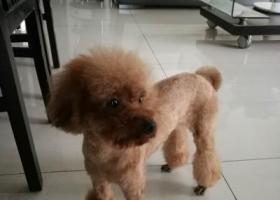 寻狗启示,民丰里附近走失刚剃毛的瘦泰迪,酬谢,它是一只非常可爱的宠物狗狗,希望它早日回家,不要变成流浪狗。