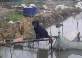 常州金坛沈渎大桥西丢失半岁纯黑拉布拉多一只,如有消息必重谢