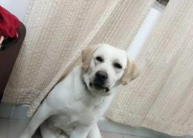 寻狗启示,寻狗启示,罗芳小学附近拉布拉多丢失,希望好心人捡到联系我,它是一只非常可爱的宠物狗狗,希望它早日回家,不要变成流浪狗。