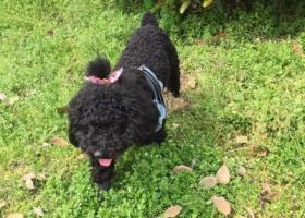 寻狗启示,合肥界首路幸福人家附近丢失一条黑色泰迪,它是一只非常可爱的宠物狗狗,希望它早日回家,不要变成流浪狗。
