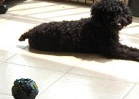 寻狗启示,寻找东城走丢的黑贵宾公狗,它是一只非常可爱的宠物狗狗,希望它早日回家,不要变成流浪狗。