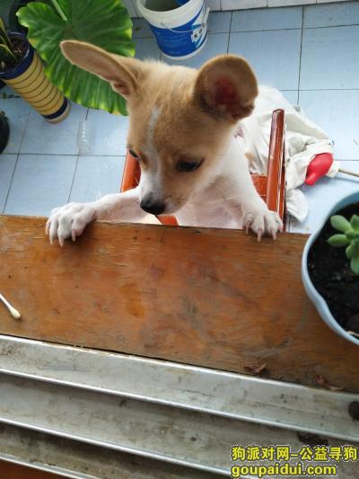 寻狗启示,找狗,黄色吉娃娃串串,万分感谢,它是一只非常可爱的宠物狗狗,希望它早日回家,不要变成流浪狗。