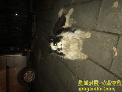 寻狗启示,边牧  鸳鸯眼  做了绝育,它是一只非常可爱的宠物狗狗,希望它早日回家,不要变成流浪狗。