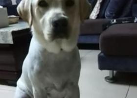 寻狗启示,宜昌夷陵区丁家坝白色拉布拉多,红色项圈,已剃毛,19号上午走丢,它是一只非常可爱的宠物狗狗,希望它早日回家,不要变成流浪狗。