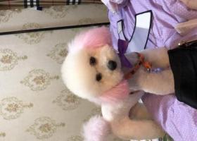 寻狗启示,上海川沙鼎鑫名流苑走丢,紫色耳朵尾巴,,它是一只非常可爱的宠物狗狗,希望它早日回家,不要变成流浪狗。