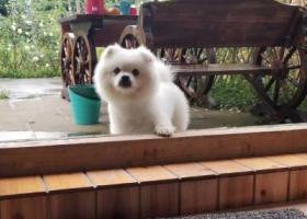 寻狗启示,成都戛纳湾附近走失一条博美,它是一只非常可爱的宠物狗狗,希望它早日回家,不要变成流浪狗。