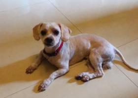 寻狗启示,重庆渝中区大坪石油路恒大都市广场狗狗走丢,它是一只非常可爱的宠物狗狗,希望它早日回家,不要变成流浪狗。