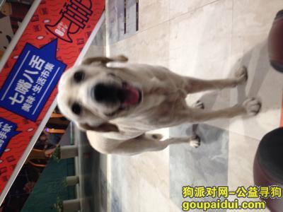 厦门找狗主人,朋友捡到一条狗叫拉布拉多,它是一只非常可爱的宠物狗狗,希望它早日回家,不要变成流浪狗。