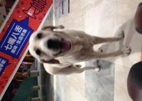 寻狗启示,朋友捡到一条狗叫拉布拉多,它是一只非常可爱的宠物狗狗,希望它早日回家,不要变成流浪狗。