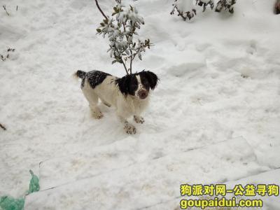 巢湖丢狗,急寻自家史宾格犬弟弟,它是一只非常可爱的宠物狗狗,希望它早日回家,不要变成流浪狗。