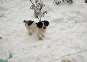 寻狗启示,急寻自家史宾格犬弟弟,它是一只非常可爱的宠物狗狗,希望它早日回家,不要变成流浪狗。