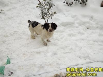 巢湖寻狗,自家2岁史宾格犬弟弟,它是一只非常可爱的宠物狗狗,希望它早日回家,不要变成流浪狗。