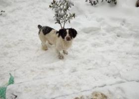 寻狗启示,自家2岁史宾格犬弟弟,它是一只非常可爱的宠物狗狗,希望它早日回家,不要变成流浪狗。