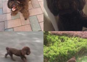 寻狗启示,万达金街附近丢失泰迪犬巧克力色 急寻 报酬一千,它是一只非常可爱的宠物狗狗,希望它早日回家,不要变成流浪狗。