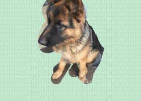 寻狗启示,在铜陵寻找一只德国牧羊犬,它是一只非常可爱的宠物狗狗,希望它早日回家,不要变成流浪狗。