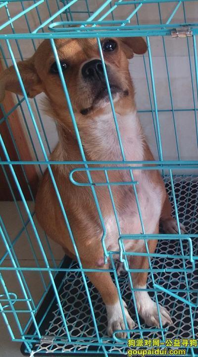 遂宁找狗,图片上那条黄色的母狗,它是一只非常可爱的宠物狗狗,希望它早日回家,不要变成流浪狗。