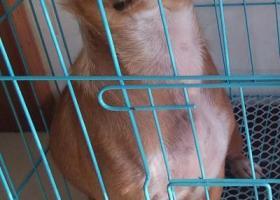 寻狗启示,图片上那条黄色的母狗,它是一只非常可爱的宠物狗狗,希望它早日回家,不要变成流浪狗。