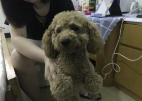 寻狗启示,谁家的泰迪狗丢了,赶紧认领!,它是一只非常可爱的宠物狗狗,希望它早日回家,不要变成流浪狗。