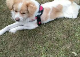 寻狗启示,2018年6月20。下午3点在第三军大学走失,它是一只非常可爱的宠物狗狗,希望它早日回家,不要变成流浪狗。