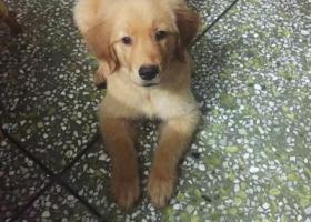 寻狗启示,我的小金毛快点回家吧,它是一只非常可爱的宠物狗狗,希望它早日回家,不要变成流浪狗。