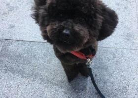 寻狗启示,黑灰色泰迪幼犬 长约30厘米,它是一只非常可爱的宠物狗狗,希望它早日回家,不要变成流浪狗。