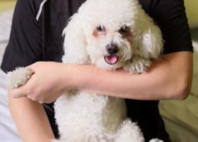 寻狗启示,18.6.20晚在莱芜新市医院附近走失比熊犬一只,它是一只非常可爱的宠物狗狗,希望它早日回家,不要变成流浪狗。