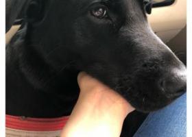 寻狗启示,我在寻找一只一岁多点的黑色拉布拉多小弟弟,叫小黑,2018年6月18日下午三点多钟的时候在重庆北碚城南行政中心附近走失,,它是一只非常可爱的宠物狗狗,希望它早日回家,不要变成流浪狗。