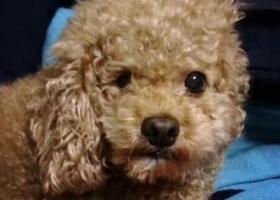 寻狗启示,上海长宁区福泉路协和路附件走失8岁公泰迪,有一只眼睛不太好,看到的好心人和我联系!,它是一只非常可爱的宠物狗狗,希望它早日回家,不要变成流浪狗。