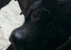 寻狗启示,谢谢,已找到,它是一只非常可爱的宠物狗狗,希望它早日回家,不要变成流浪狗。