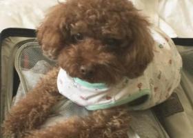 寻狗启示,寻找10岁的棕色贵宾犬,它是一只非常可爱的宠物狗狗,希望它早日回家,不要变成流浪狗。