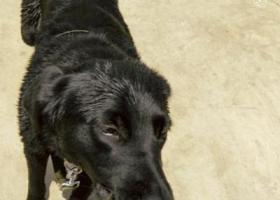 寻狗启示,重庆市长寿区海棠镇重金寻找黑色拉布拉多,它是一只非常可爱的宠物狗狗,希望它早日回家,不要变成流浪狗。