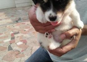 寻狗启示,2018年6月21日在中吴大道修路红绿灯附近丢了一条黑白色小狗,它是一只非常可爱的宠物狗狗,希望它早日回家,不要变成流浪狗。