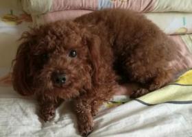 寻狗启示,重金寻找4月25日在迈皋桥走失的泰迪犬,它是一只非常可爱的宠物狗狗,希望它早日回家,不要变成流浪狗。