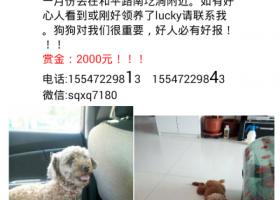 寻狗启示,寻找一直公泰迪,三岁了,麻烦好心人帮忙多留意一下,赏金2000元,它是一只非常可爱的宠物狗狗,希望它早日回家,不要变成流浪狗。