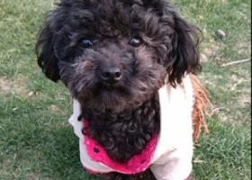 寻狗启示,南京岱山地区重金寻找黑泰迪 希望赶紧回家,它是一只非常可爱的宠物狗狗,希望它早日回家,不要变成流浪狗。