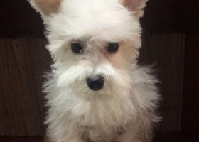 寻狗启示,重金寻找6月25日在中央路廖家巷附近走丢的白色雪纳瑞,它是一只非常可爱的宠物狗狗,希望它早日回家,不要变成流浪狗。