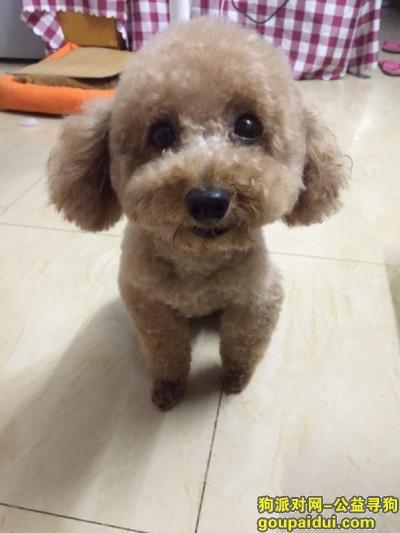 梅州寻狗启示,2018年6月25日晚,在兴宁东风路步行街附近走失香槟色贵宾母犬,它是一只非常可爱的宠物狗狗,希望它早日回家,不要变成流浪狗。