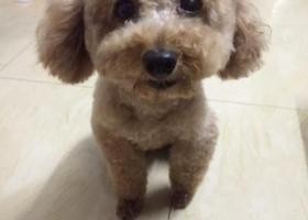 寻狗启示,2018年6月25日晚,在兴宁东风路步行街附近走失香槟色贵宾母犬,它是一只非常可爱的宠物狗狗,希望它早日回家,不要变成流浪狗。