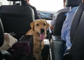 寻狗启示,寻找黄色拉布拉多成年犬,它是一只非常可爱的宠物狗狗,希望它早日回家,不要变成流浪狗。