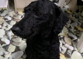 寻狗启示,万紫山附近拾得黑色小狗一条,它是一只非常可爱的宠物狗狗,希望它早日回家,不要变成流浪狗。