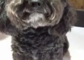 寻狗启示,乌鲁木齐找黑色公泰迪,它是一只非常可爱的宠物狗狗,希望它早日回家,不要变成流浪狗。