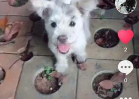 寻狗启示,常德狗狗找主人,白色戴有铃铛,它是一只非常可爱的宠物狗狗,希望它早日回家,不要变成流浪狗。