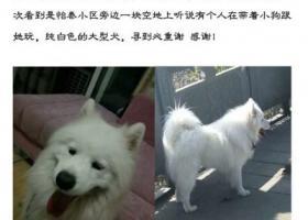寻狗启示,在成都遗失了一只萨摩耶,请看见或捡到的朋友尽快联系我们,谢谢了!,它是一只非常可爱的宠物狗狗,希望它早日回家,不要变成流浪狗。