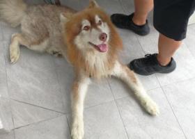 寻狗启示,捡到阿拉斯加犬一只,找主人,狗狗很可怜,找主人。,它是一只非常可爱的宠物狗狗,希望它早日回家,不要变成流浪狗。