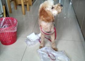 寻狗启示,寻泰迪浅褐色,6月3日晚在民权门附近走失。,它是一只非常可爱的宠物狗狗,希望它早日回家,不要变成流浪狗。
