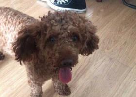 寻狗启示,狗狗要回家,6月27日闵行区鲁康路浦江捡到泰迪,请它的爸妈带它回家,它是一只非常可爱的宠物狗狗,希望它早日回家,不要变成流浪狗。