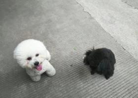 寻狗启示,南京鼓楼 黑色泰迪 胸前一小撮白毛的女孩子 拜托各位喊喊她的名字 带她回到家!!,它是一只非常可爱的宠物狗狗,希望它早日回家,不要变成流浪狗。