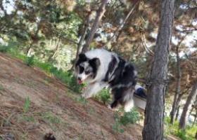 寻狗启示,威海成年公边牧陨石色。,它是一只非常可爱的宠物狗狗,希望它早日回家,不要变成流浪狗。