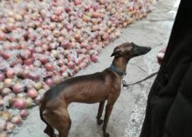 寻找爱犬,在胡家庙粮油市场走失